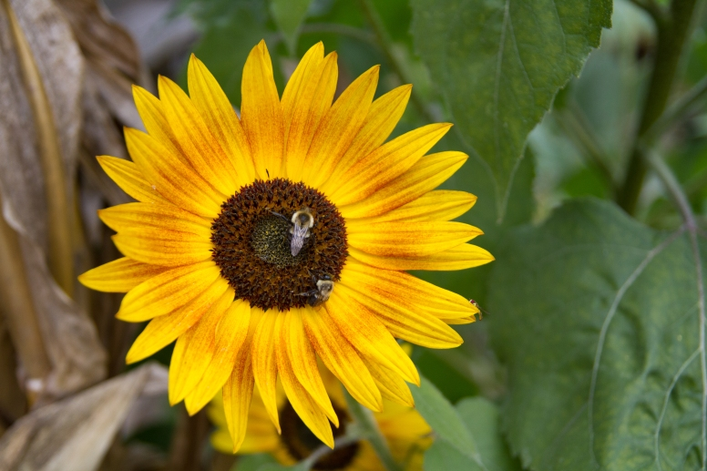 Fall sunflower